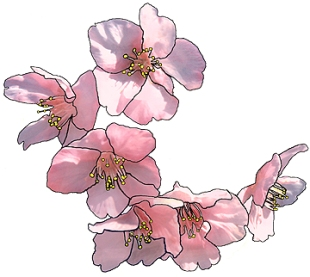 Cherry Blossom Tattoo meanings