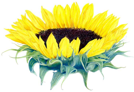 Sunflower Tattoo Meaning Ideas Images Pictures